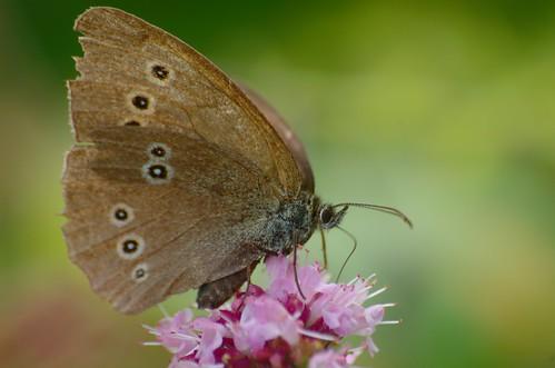Aphantopus hyperantus | Koevinkje - Ringlet butterfly