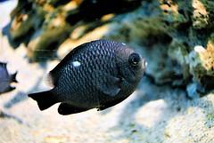 Saltwater fish (hunybeehide) Tags: ocean marine aquariumfish oceanarium wondersofnature manilaoceanpark saltwaterfishoceanariummanilaoceanparkmarineaquariumfishwondersofnaturesaltwaterfishphilippinemarinebiology