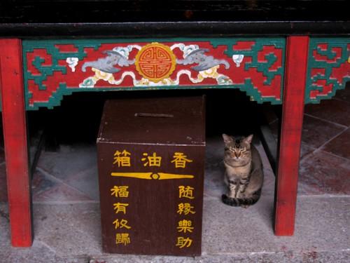 Temple cat - 廟貓