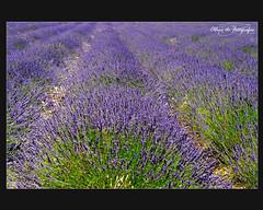 Perfume de Provence (FOTÓGRAFAS) Tags: de nikon foto perfume d andrea frança 300 em ribeiro campos fotografo fotografa lavanda fotografias profissional provance d700