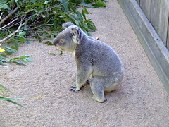 20 Hours a Day (End of Level Boss) Tags: cute animal australian australia koala qld queensland lou marsupial australiazoo 2007  coala    koaala     koal      hayopngkoala  gingaithucchu