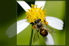 Laboriousness (-clicking-) Tags: flowers wild macro yellow working hard insects pistil petal bee daisy capture tamron90mm canon50d platinumphoto laboriousness