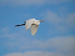 PB097406-71-4 (ros08) Tags: wildlife egrets birdsnw09
