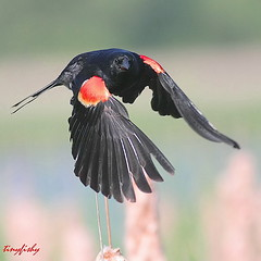 Broken Wing (tinyfishy) Tags: red ontario black bird flying inflight whitby winged soe redwinged redwingedblackbird naturesfinest rwbb golddragon abigfave anawesomeshot flickrdiamond theunforgettablepictures