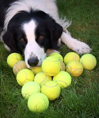 A Tale of 17 Tennis Balls and 1 Border Collie :) (meg price) Tags: dog pet ball toy collie border tennis bordercollie barney tennisballs helovesthem abigfave hesnotballistthough anyroundbouncingthingwilldo weloveourtennisplayingfriend thesearenthisonlyballs therearemoreskulkinginthekitchen savesusafortune