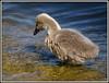 Yummy, that tastes good. (Shortshooter - Al) Tags: cygnet waterbirds bigmomma yourock1st