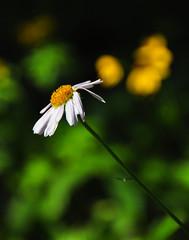 Wildflowers Along the Trail (Bill Gracey 15 Million Views) Tags: canada color trail alberta wildflowers banffnationalpark morainelake consolationlake