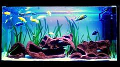 malawi tank 2 (Appleskatephoto) Tags: fish tank malawi cichlids ciclidos mbunas