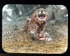 Cheetah growling at camera (The Field Museum Library) Tags: africa expedition animal cat wildlife cheetah mammals animalia mammalia somalia zoology 1896 carnivora acinonyxjubatus felidae chordata acinonyx carlakeley specimencollection dgelliot