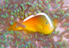 Yellow clownfish, Cebu Philippines