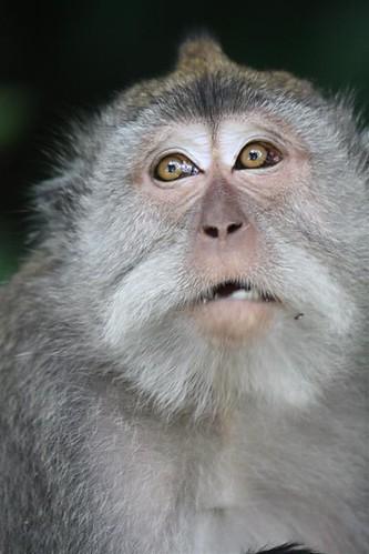 Balinese macaque