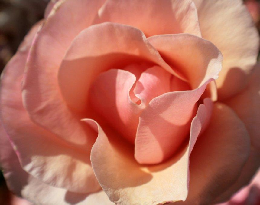 Pink Rose-ed1
