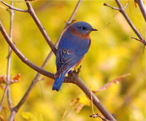 Bluebird in fall colors