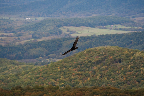 Turkey Vulture over the Valley