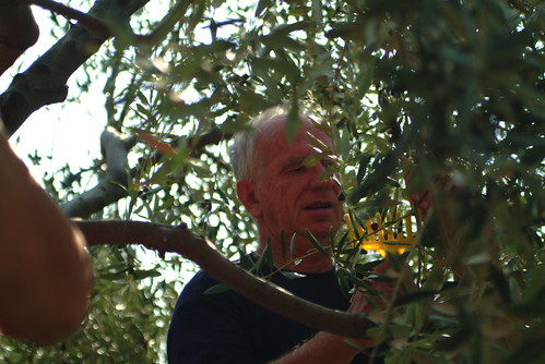The olives are harvested using a comb-like gadget