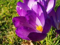 Krokus (blaat70) Tags: flowers macro green nature groen natuur makro bloemen soest blaat70