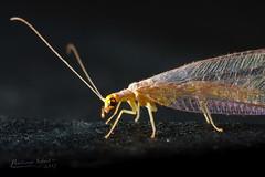 Chrysoperla carnea (Bastiaan Schuit) Tags: macro insect fly onblack macroextreme supershot bej chrysoperlacarnea beautifulmonsters