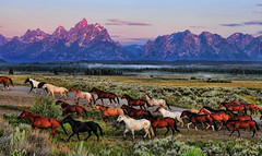 Herd in the Morning (Jeff Clow) Tags: morning horses nature dawn bravo western tetons herd equine grandtetonnationalpark jacksonholewyoming jeffrclow
