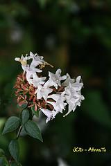 Campanillas Blancas. (Joaquin @JCDAtrasto) Tags: flowers naturaleza flores macro nature closeup canon 400d flickraward flowersarebeautiful goldstaraward vosplusbellesphotos jcdatrasto