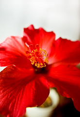 Flagrantly hibiscus (Thomas Tolkien) Tags: school copyright art sports tom digital photography photo education nikon d70s teacher website creativecommons teaching tolkien jrr tuition twitter robertbringhurst bringhurst thomastolkien tomtolkien httpwwwtomtolkiencom httpthomastolkienwordpresscom tolkienart notrelatedtojrrtolkien tolkienteacher tolkienteaching