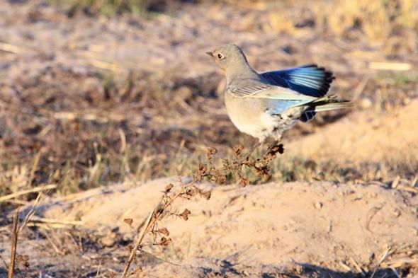 437_mountainBluebird2
