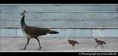 Follow Me... (Vivek Dikshit) Tags: india kids stairs mother peacock indore peahen followers peachick canon 1000d vivek dikshit