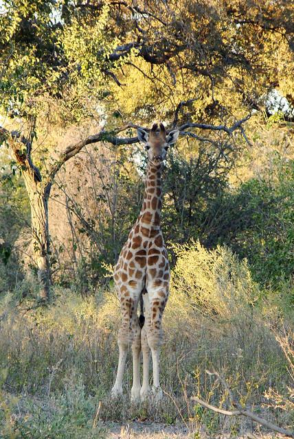 DSC09038 Giraffe calf