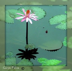 pink lily flower and reflection (Carpe Feline) Tags: reflection fiji waterlily lily southpacific carpefeline