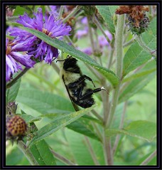 Talk about strength! (Daisy Mai-ling) Tags: insect bee bumblebee familyapidae orderhymenoptera genusbombus