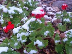 snowy geraniums