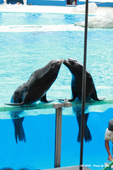 Beijos dos Lees Marinhos / Sea Lions Kissing (Nuno-Gomes) Tags: life sea wild nature animal zoo interesting fantastic bestof shot lisboa lisbon great lion best explore greatshot colored leo marinho nunogomes excelent topseven mygearandmepremium mygearandmebronze mygearandmesilver mygearandmegold mygearandmeplatinum mygearandmediamond ngomes