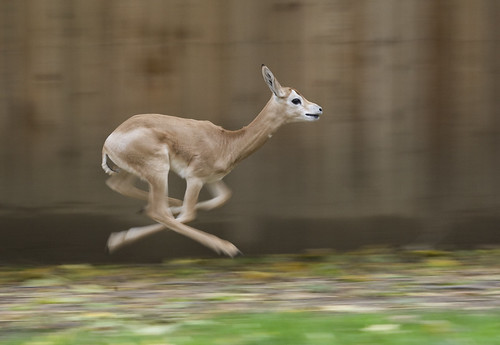 wildlife animals of baby dama gazelle deer running pictures