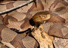 "C-Falls - copperhead coiled • <a style=""font-size:0.8em;"" href=""http://www.flickr.com/photos/30765416@N06/5701531569/"" target=""_blank"">View on Flickr</a>"