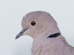 Eurasian Collared-Dove (close-up)-4024-2.jpg (Stein Arne Jensen) Tags: españa spain fuerteventura es espagne spanien islascanarias spania espanya morrojable pájara canon60d steinarnejensen sigma150500mmf563