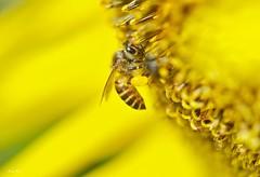 A Different Kind Of Buzz (Anna Kwa) Tags: macro art nature singapore bee sunflower hortpark annakwa