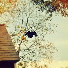 Incoming (liquidnight) Tags: camera birds animals oregon portland flying wings backyard nikon wildlife birding flight urbanwildlife incoming pdx laurelhurst arrival crows birdwatching corvusbrachyrhynchos americancrow d90 uploaded:by=flickrmobile flickriosapp:filter=nofilter