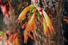 Halleria lucida - Boomfuchsia - Notsung - Drakenbergen - Zuid-Afrika-001a (Ruud de Block) Tags: southafrica stilbacaeae taxonomybinominalhallerialucida hallerialucida ruuddeblock halleria cauliflorous trunk