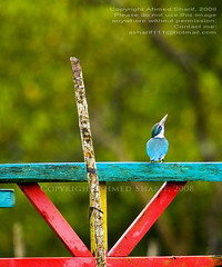 in harmony..........  [The Sundarbans, Satkhira, Bangladesh] (Ideas_R_Bulletproof) Tags: bird nature d50 nikon colours harmony kingfisher manmade environment bangladesh collared sundarbans satkhira sigmaapo50500mmf463exdghsm machranga burigoalini dholaghar