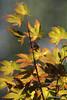 Japanese Maple (bamboosage) Tags: garden illumination momiji acer tc m42 around palmatum the 2x kenko mcchinon13528