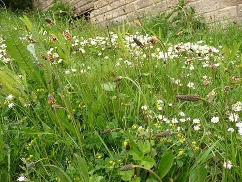 Plantain-ribwort-heads-canalside-devizes-5.5.09-no4