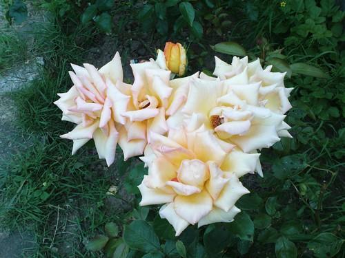 roses1079