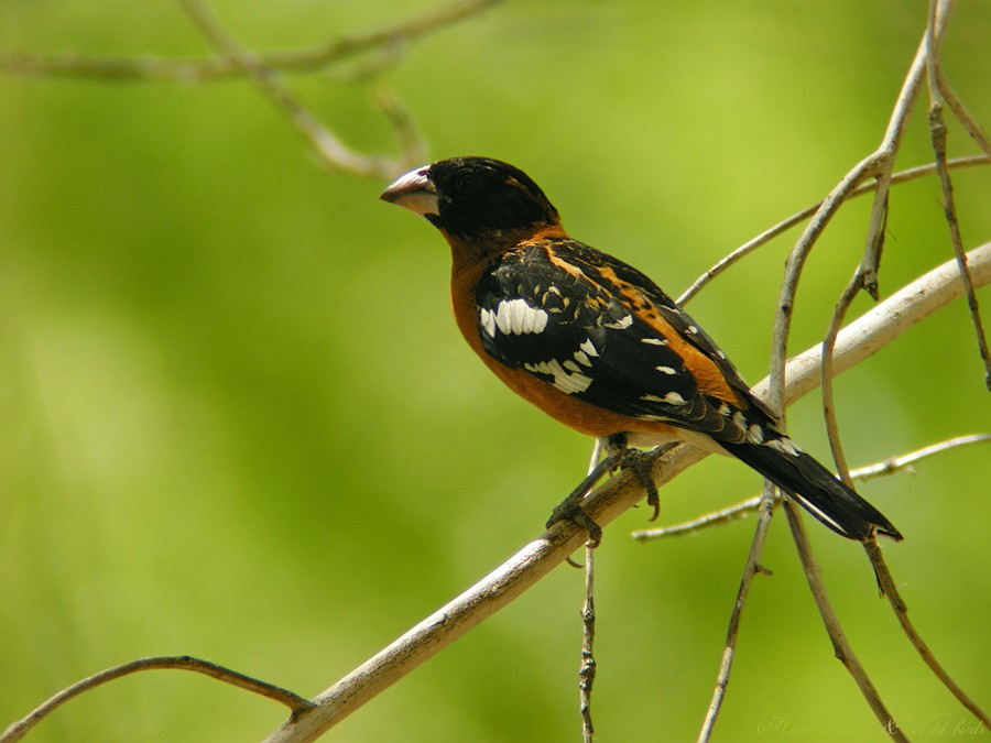 Black-headed Grosbeak07091-3