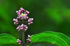 Little flower on green (Armando Maynez) Tags: voyage travel vacation flower macro green leaves leaf nikon costarica small traveling armando vacaciones arenal d90 kioro challengeyouwinner cywinner maynez