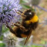 Bumble bees love the globe thistles of Hyde Park Corner thumbnail