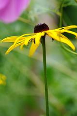 Yellow Sun in a Tight Frame... (...) Tags: flowers green yellow reflex dof pentax bokeh sigma tamron 1020 70200 f28 k10 k7 k10d