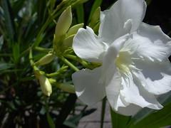 oleander wei (skorpionin4) Tags: flowers flower nature garden natur blumen rosen garten oleander blten blaueblten weiseblten
