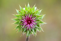 Partially opened flower bud of the Musk Thistle (Alan Vernon.) Tags: wild weed thistle grand musk tetons invasive nodding carduus noxious nutans budflower alanvernon copyright2009alanvernon