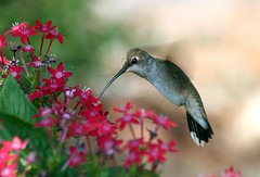 Hummingbird (Species ID Needed)