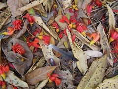 Castanospermum australe leaf litter (Oriolus84) Tags: blackbean fabaceae castanospermumaustrale castanospermum