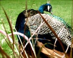 Peacock and it's feathers (Kara Allyson) Tags: beautiful grass zoo feathers peacock